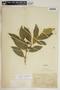 Rauvolfia nitida Jacq., Haiti, E. L. Ekman 919, F