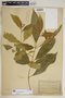 Rauvolfia nitida Jacq., Puerto Rico, P. E. E. Sintenis 4786, F