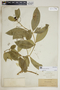 Rauvolfia nitida Jacq., Puerto Rico, A. A. Heller 6190, F
