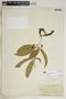 Rauvolfia nitida Jacq., Puerto Rico, N. L. Britton 1380, F
