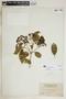 Rauvolfia nitida Jacq., Puerto Rico, N. L. Britton 2421, F