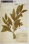 Rauvolfia nitida Jacq., Puerto Rico, E. L. Little, Jr. 13001, F