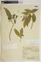 Rauvolfia nitida Jacq., Puerto Rico, E. L. Little, Jr. 13231, F
