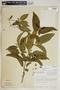 Rauvolfia nitida Jacq., Puerto Rico, W. R. Stimson 3278, F