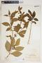 Rauvolfia viridis Willd., Martinique, A. Duss 1225, F