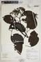 Fridericia trailii (Sprague) L. G. Lohmann, Peru, R. B. Foster 12820, F