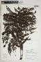 Jacaranda obtusifolia Bonpl., Peru, P. Nuñez V. 15161, F