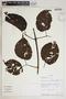 Lundia puberula Pittier, Ecuador, A. H. Gentry 80036, F