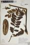 Jacaranda macrocarpa Bureau & K. Schum., Peru, A. H. Gentry 25015, F
