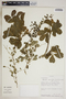Mansoa parvifolia (A. H. Gentry) A. H. Gentry, Peru, R. B. Foster 9659, F