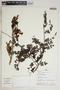 Jacaranda obtusifolia Bonpl., Peru, J. Albán C. 7198, F