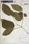Stizophyllum inaequilaterum Bureau & K. Schum., Peru, R. B. Foster 10109, F