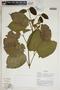 Stizophyllum inaequilaterum Bureau & K. Schum., Ecuador, R. J. Burnham 1528, F