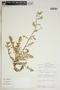 Rorippa palustris (L.) Besser, Peru, R. B. Foster 9549, F