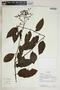 Tournefortia maculata Jacq., Ecuador, R. J. Burnham 1642, F