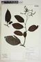 Tournefortia maculata Jacq., Peru, R. B. Foster 11807, F
