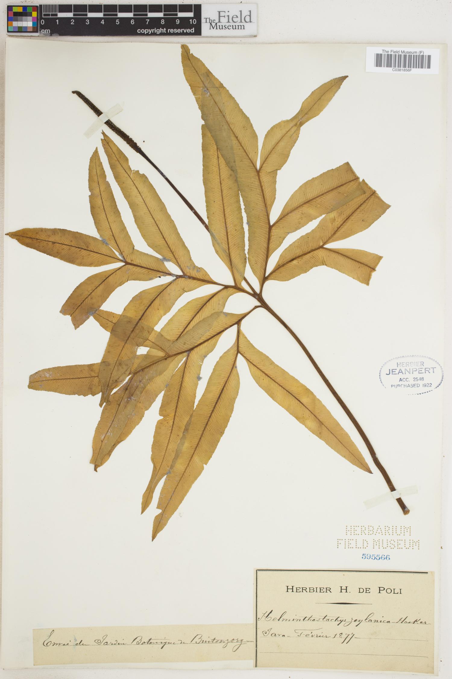 helminthostachys mexicana)