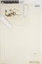 Ophioglossum lusitanicum image