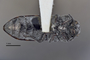 3741510 Acmaeodera haulpaiana, holotype, habitus, ventral view.