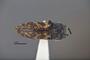 3741514 Acmaeodera opuntiae, holotype, habitus, dorsal view.