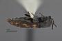 3741514 Acmaeodera opuntiae, holotype, habitus, lateral view.