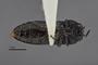3741514 Acmaeodera opuntiae, holotype, habitus, ventral view.