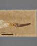 3741525 Acmaeodera wickenburgana, holotype, dissected genitalia