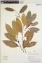 Naucleopsis glabra Baill., Peru, M. A. Ríos Paredes 555, F