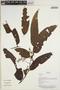 Virola surinamensis (Rol. ex Rottb.) Warb., Bolivia, J. Urrelo et al. 532, F