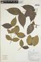 Myrcia mollis (Kunth) DC., Peru, H. Beltrán S. 5719, F
