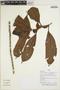Drymonia anisophylla L. E. Skog & L. P. Kvist, Peru, H. Beltrán S. 5604, F