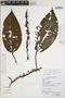 Clidemia longifolia Gleason, Peru, N. Salinas R., F