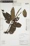 Triolena amazonica (Pilg.) Wurdack, Peru, N. Dávila, F