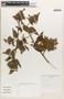 Chamissoa altissima (Jacq.) Kunth, Bolivia, S. G. Beck 16592, F