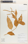 Chamissoa altissima (Jacq.) Kunth, Peru, C. Sobrevila 1786, F
