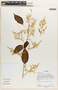 Chamissoa altissima (Jacq.) Kunth, Ecuador, A.  P. Yánez 170, F
