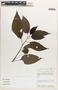 Chamissoa altissima (Jacq.) Kunth, Peru, J. Salick 7199, F