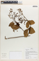Chamissoa altissima (Jacq.) Kunth, Peru, H. Beltrán S. 1288, F