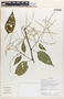 Chamissoa altissima (Jacq.) Kunth, Ecuador, K. Romoleroux 2650, F