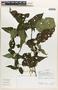 Chamissoa altissima (Jacq.) Kunth, Ecuador, R. J. Burnham 1758, F