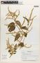 Chamissoa altissima (Jacq.) Kunth, Panama, M. Rodriguez 76, F