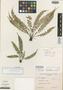 Asplenium seileri C. D. Adams, EL SALVADOR, R. L. Seiler 957, Holotype, F