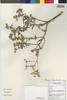 Flora of the Lomas Formations: Flaveria bidentis (L.) Kunze, Peru, M. Binder 1999/353, F