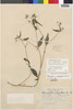 Flora of the Lomas Formations: Galinsoga caligensis Canne, Peru, C. Vargas C. 4690, F