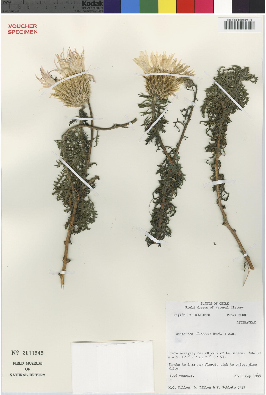Centaurea floccosa image