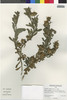 Flora of the Lomas Formations: Grindelia glutinosa (Cav.) Mart., Peru, M. McMahon 577, F