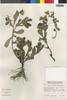 Flora of the Lomas Formations: Grindelia glutinosa (Cav.) Mart., Peru, S. G. Beck 7926, F