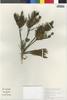 Gypothamnium pinifolium image