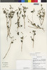 Flora of the Lomas Formations: Perityle emoryi Torr., Peru, M. Weigend 97/807, F