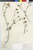 Flora of the Lomas Formations: Perityle emoryi Torr., Chile, S. Teiller 2826, F